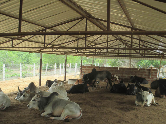 Cow Sanctuary